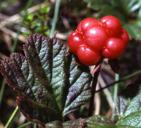 Cloudberry / Rubus chamaemorus, 219 kb