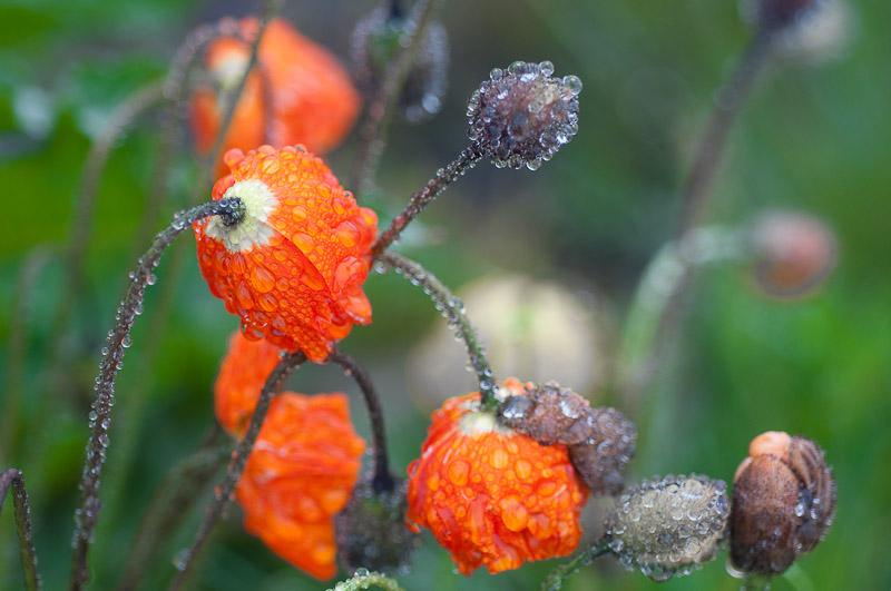 Icelandic Poppies in the Rain, Seydisfjordur, East Iceland, 116 kb