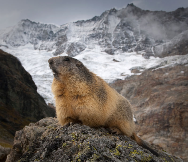 An Alpine Marmot high above the Saas-Fee valley with the Taschhorn 4490m behind, 102 kb