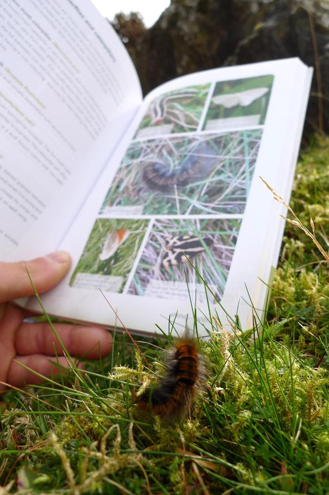 Identifying a Fox Moth Caterpillar, 203 kb