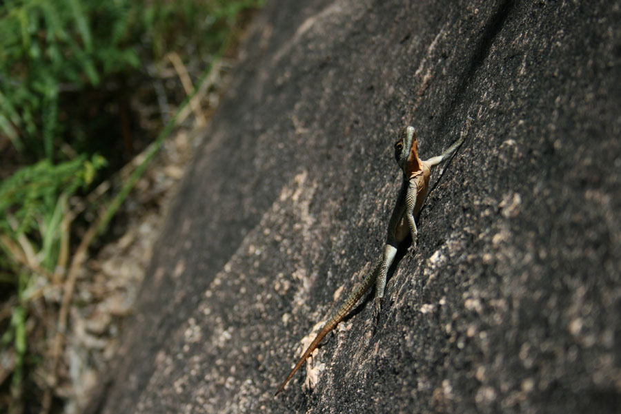 A lizard on the granite of Tsaranoro, 120 kb