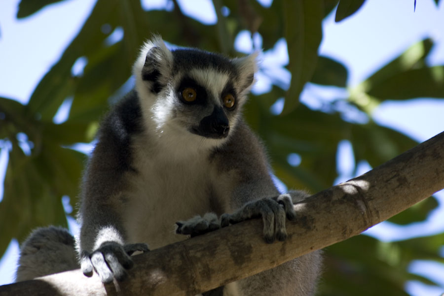 Lemurs are your constant companions on the walk to the crags, and even on the routes!, 89 kb
