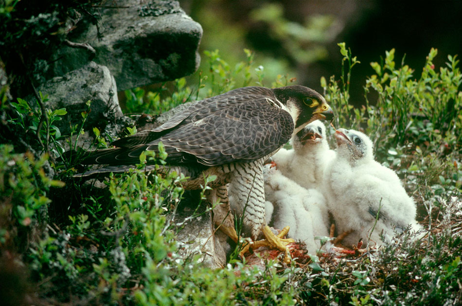 Peregrine Falcons. Many cliffs are restricted for part of the year due to nesting birds., 175 kb