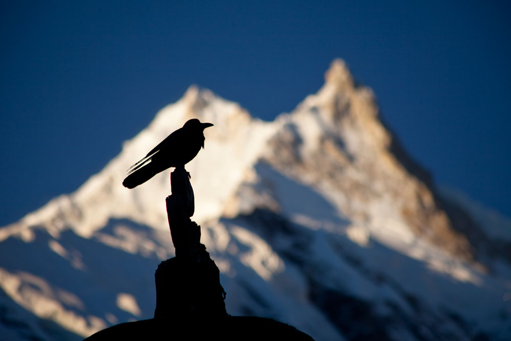 Raven on a stupa in front of Manaslu, Nepal, 55 kb