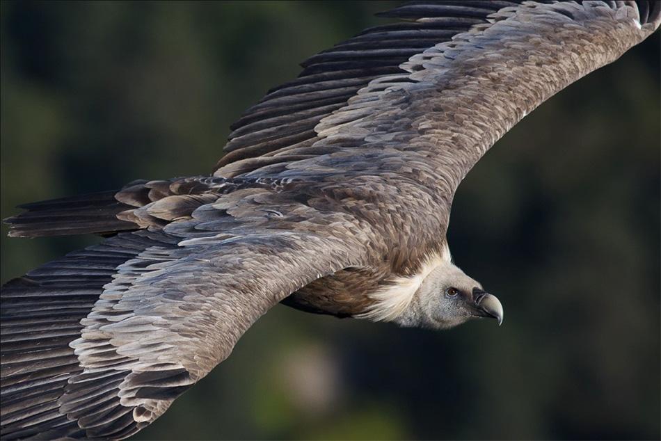 Griffon Vulture, 175 kb