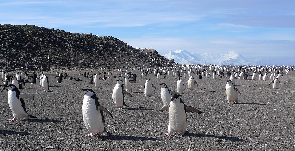 Penguins and Livingston Island, 193 kb