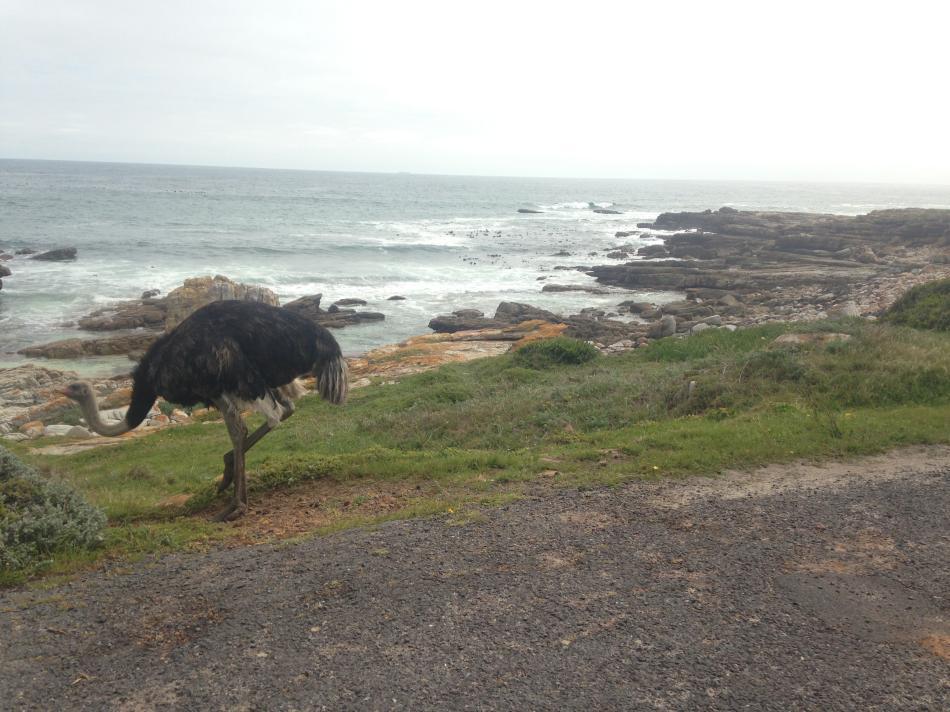 Hazel meeting the 'leggy birds' of Cape Town, 96 kb