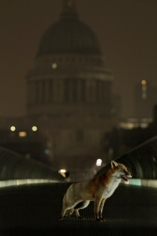 St Paul's fox, 41 kb