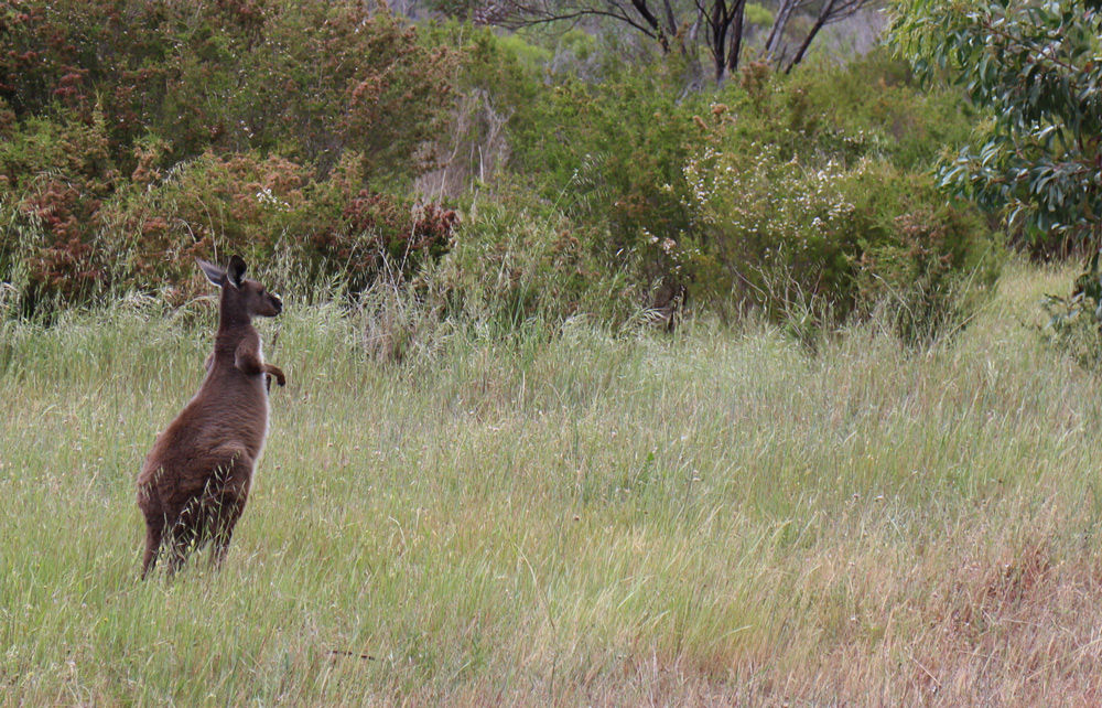 One of the locals, a Grey Kangaroo at Arapiles, 214 kb