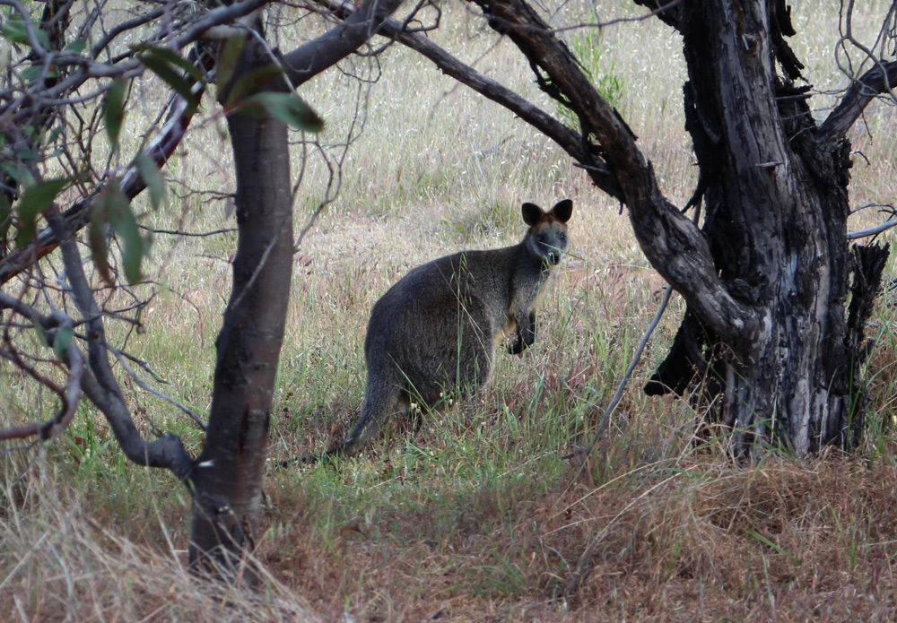 Another pouched native to the Grampians, the Wallaby, 213 kb