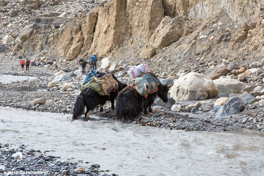 Yaks loaded with supplies crossing the freezing Shimshal River. , 212 kb