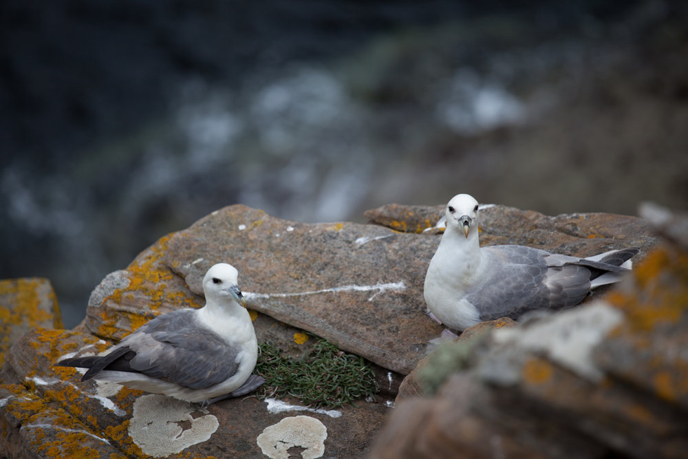 Look at those lovely Fulmars, it's like butter wouldn't melt in their little mouths..., 111 kb
