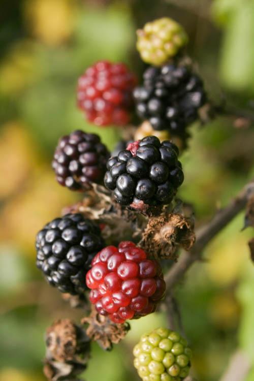 Blackberry, 157 kb