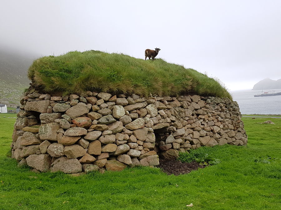 An adventurous Soay sheep on top of a cleit, 136 kb