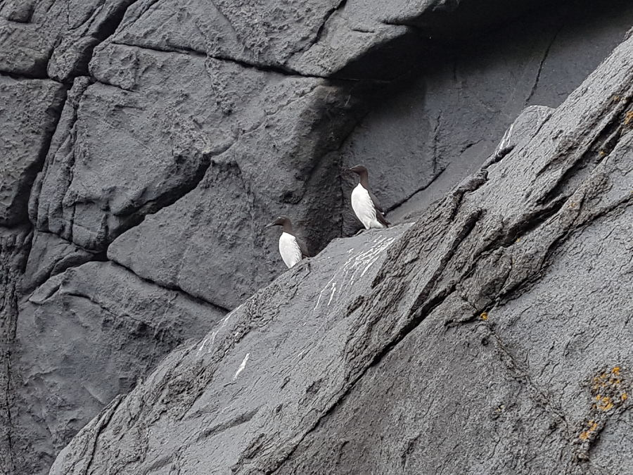 A pair of guillemots and perfect gabbro, 172 kb