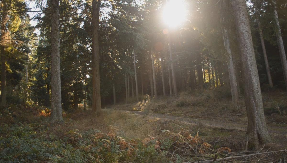 Kyloe in the woods, 195 kb