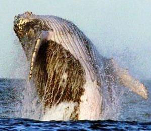 White Whale, 26 kb