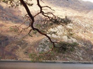 Loch Hourn tree