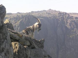Feral goat on Y Gribin, Clogwyn Du and Glyder Fawr behind
