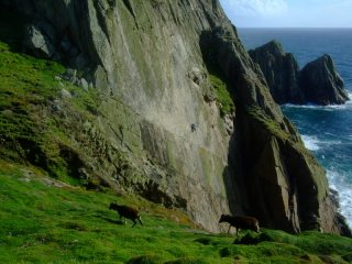 Lundy goats Watching the Ocean