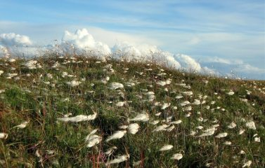 Cotton grass Calderdale