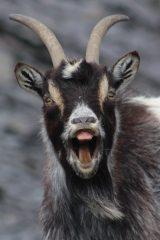 Cool Quarry Goat, 81 kb