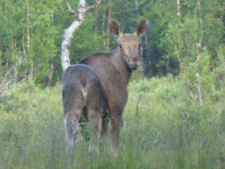 Swedish moose at Nikkaluokta