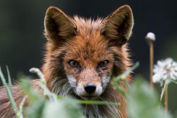 Red Fox - Magic Wood