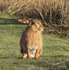 mountain hare Win hill