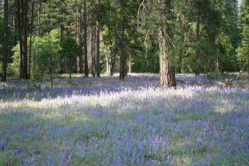 bluebells, Yosemite